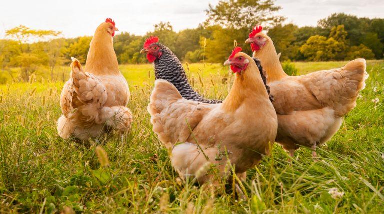 Corso allevamento animali di bassa corte con il metodo della zootecnia biologica